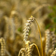 Stock Photo: The Wheat