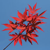 Red maple — Stockfoto