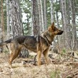 Shepherd dog in the woods - Stock Photo