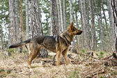 Shepherd dog in the woods — Stockfoto