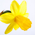 Yellow narcissus — Stock Photo #22510855
