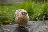Quail Hen — Stock Photo