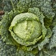 Stock Photo: Savoy Cabbage