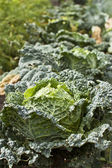 Savoy Cabbage — Photo
