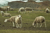 Rebanho de ovelhas — Fotografia Stock