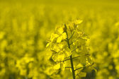 Rape field — Stockfoto