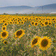 Stock Photo: Landscape with sunflower field over cloudy blue sky