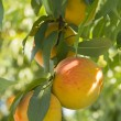 Stock Photo: Peach fruits growing on a peach tree branch