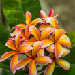 Stock Photo: Branch of beautiful pink plumeria