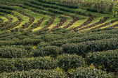 Tea bushes on sunset. Northern Thailand. — Stock Photo