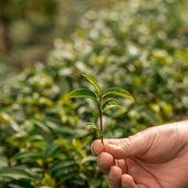 Tea fresh leaves. Tea plantations. — Stock Photo