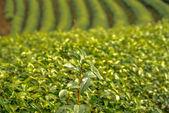 Té verde hojas frescas. cosecha de plantación de té. tailandia. plantaciones de té. norte de tailandia, chiang rai — Foto de Stock
