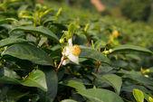 Tea flowers and fresh leaves. Tea plantations. Northern Thailand, Chiang Rai — Foto Stock