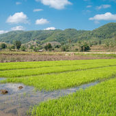 Landscape with paddy rice in field and sky reflection. Northern Thailand, Chiang Mai — Foto Stock