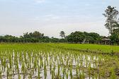 Vista de arroz jovem que está pronto para o crescimento da província de arroz campo, norte da tailândia, chiang rai — Fotografia Stock