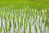 View of young rice that ready to growing in the rice field. — Stock Photo