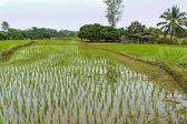 Landscape with young rice field, Northern Thailand, Chiang Rai province — Stock Photo