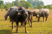 Bulls on pasture in Thailand — Stok fotoğraf