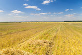Landscape with mown wheat field — Stock Photo