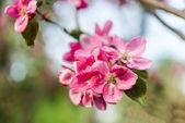 Pink blossom apple flowers — Photo