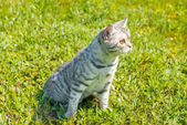 Cat on a walk in the green  grass. — Stock Photo