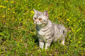 Cat walking on grass and hunts — Stock Photo