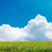 Summer beautiful landscape with big sunflowers field and blue sk — Stock Photo