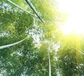 бамбуковый лес — Стоковое фото