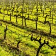 Vineyards in December, Haro, Spain — Stock Photo