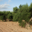 Olive tree plantation - Stock Photo