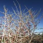 Trockener Busch mit roten Beeren — Stock Photo