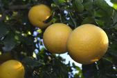 Ripe Grapefruits at tree — Stock Photo