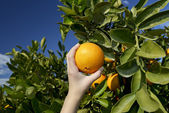 Hand picking orange from tree — Stock Photo