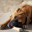 Постер, плакат: Female boxer puppy chewing a dog food bone