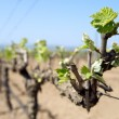 Spring green shoots on mature grape vines, Spain — Stock Photo #18143675