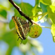 Stock Photo: Swallowtail butterfly settled on fig, Spain