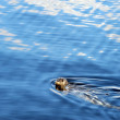 Постер, плакат: Speckled seal swimming in sea Prince Rupert BC Canada
