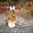 Snowshoe hare, Denali NP, Alaska, US — Stock Photo
