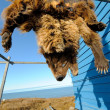 Stock Photo: Grizzly bear pelt hanging to dry, Barrow, Alaska, US