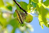 Swallowtail butterfly settled on a fig, Spain — Stock Photo