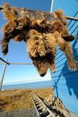 Grizzly bear pelt hanging to dry, Barrow, Alaska, US — Stock Photo