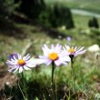 Flower in Tien Shan Mountains, Kyrgyzstan — Foto Stock