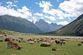 Sheeps in Dzhuku Valley, Tien Shan mountains, Kyrgyzstan — Stock Photo