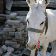 Uzbek Donkey — Stock Photo