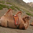 Gobi altai camel, Mongolia — Stock Photo