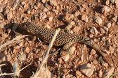 Desert Lizard, Mongolia , Gobi Desert — Stock Photo