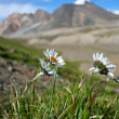 Field of daisies and wild flowers with Tien Shan mountains, Kyrgyzstan — Stock Photo