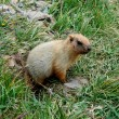 A marmot, otherwise known as a ground squirrel or ground hog, a lovable native of mountain pastures — Photo