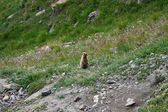A marmot, otherwise known as a ground squirrel or ground hog, a lovable native of mountain pastures — Foto de Stock