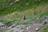 Une marmotte, autrement connue comme un spermophile ou ground hog, aimable originaire d'alpages — Photo